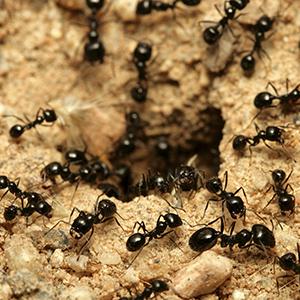 Invasion fourmis noires