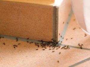 Stop à l'infection, Invasion de fourmis. Passez par un professionnel !
