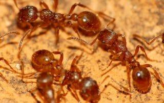 invasion fourmis rouges