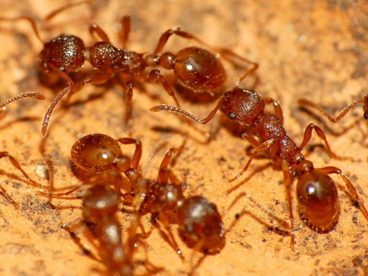 Invasion fourmis ? SOS Nuisibles intervient partout en Vendée