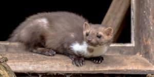 Tout comme se débarrasser des rats, se débarrasser des fouines nécessite l'aide d'un professionnel.